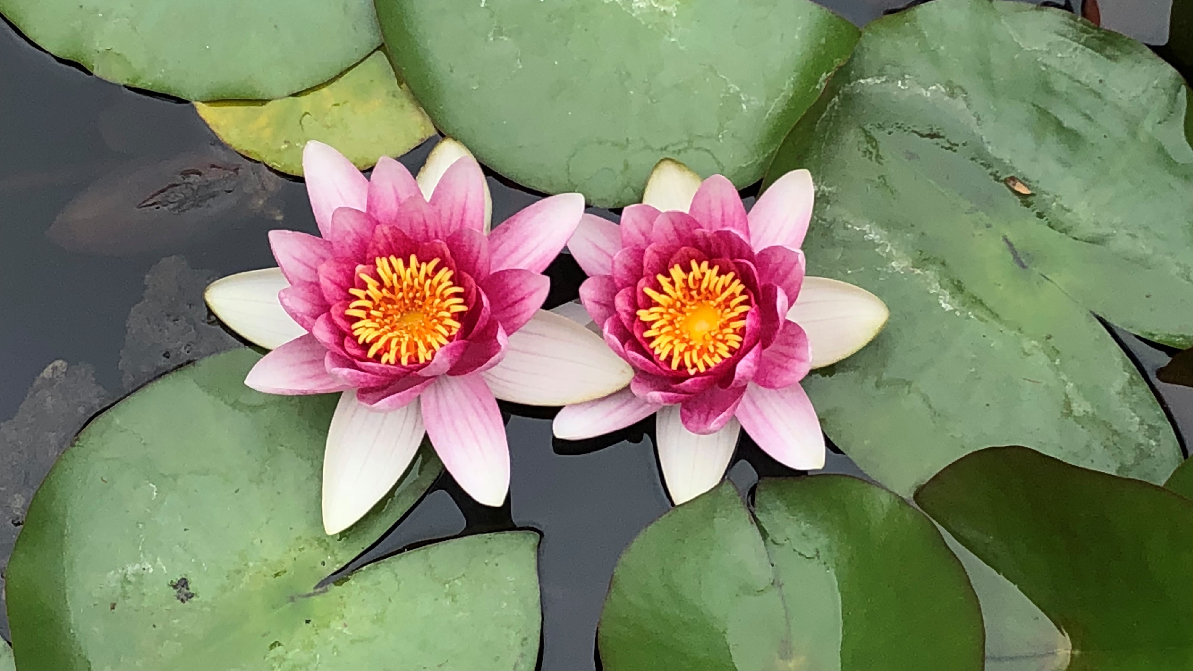Two lotus flowers on a lilly pad in water.